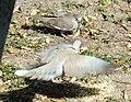 Encounter Between Eurasian Collared and White-winged doves 2018 01.jpg