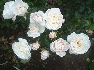 Rosa 'English Miss' - Image: English Miss