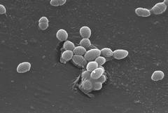 Enterococcus faecalis con microscopio electrónico de barrido