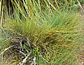 Ephedra californica 1.jpg