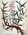 Epilobium angustifolium — Flora Batava — Volume v19.jpg