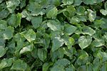 Epimedium-pinnatum-foliage.jpg