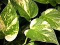 Epipremnum aureum1542991393.jpg