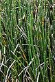 Equiseto de invierno (Equisetum hyemale), jardín botánico alpino-ártico, Tromsø, Noruega, 2019-09-04, DD 81.jpg