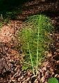 Equisetum telmateia Fallätsche 20200526 1.jpg