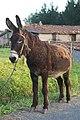 Equus asinus - Burro - Donkey - 04.jpg