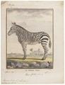 Equus zebra - 1700-1880 - Print - Iconographia Zoologica - Special Collections University of Amsterdam - UBA01 IZ21700085.tif
