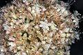 Eriogonum callistum (Tehachapi buckwheat) (7550931126).jpg