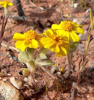 Eriophyllum wallacei - Image: Eriophyllum wallacei 2