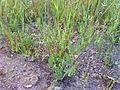 Erodium ciconium Habitus 2011-5-14 SierraMadrona.jpg