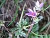 Erodium cicutarium bluete.jpeg