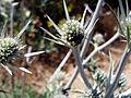 Eryngium glaciale StemandFlowers.jpg