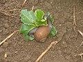 Escargot de fève.jpg