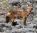 Ethiopian Wolf (15687987084) cropped.jpg