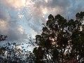 Eucalyptus, parrots, St. George , Australia, Queensland - panoramio.jpg