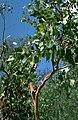 Eucalyptus bigalerita.jpg