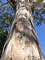 Eucalyptus camaldulensis - trunk bark.jpg