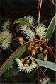 Eucalyptus leucoxylon buds.jpg