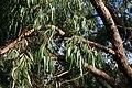 Eucalyptus viminalis subsp. pryoriana.jpg