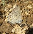 Euchrysops cnejus - Gram Blue 08.jpg