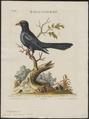Eudynamys horonata - 1700-1880 - Print - Iconographia Zoologica - Special Collections University of Amsterdam - UBA01 IZ18800283.tif