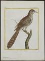Eudynamys horonata - 1700-1880 - Print - Iconographia Zoologica - Special Collections University of Amsterdam - UBA01 IZ18800311.tif