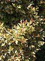 Eugenia myrtifolia variegata.jpg