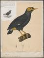 Eulabes dumonti - 1841-1852 - Print - Iconographia Zoologica - Special Collections University of Amsterdam - UBA01 IZ15800027.tif