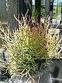 Euphorbia tirucalli 2.jpg