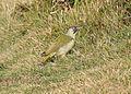 European Green Woodpecker (Picus viridis).jpg