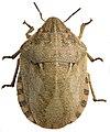 Eurygaster maura.jpg