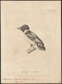 Eurylaimus ochromelas - 1700-1880 - Print - Iconographia Zoologica - Special Collections University of Amsterdam - UBA01 IZ16700283.tif