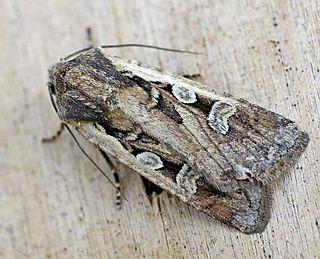 <i>Euxoa</i> genus of insects
