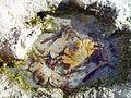 Ex crabs fossil wanneroo beach.jpg