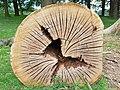 Fagales - Quercus robur - 68.jpg
