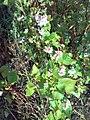 Fagopyrum esculentum 03.jpg