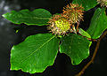 Fagus sylvatica - fruits and leaves.jpg