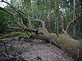 Fallen Quercus at the Spandauer Forst 01.jpg