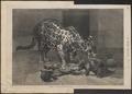 Felis onca - 1873 - Print - Iconographia Zoologica - Special Collections University of Amsterdam - UBA01 IZ22100162.tif