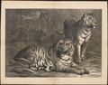 Felis tigris - 1876 - Print - Iconographia Zoologica - Special Collections University of Amsterdam - UBA01 IZ22100091.tif