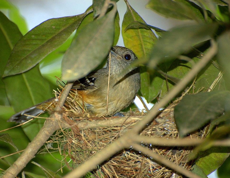 Female Thamnophilus caerulescens constructing nest