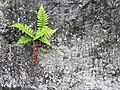 Fern and lichens growing on rock. (ee9b945b4c7b41798d7c7f4671b8484e).JPG