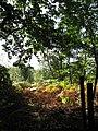 Ferns turning brown in Gravelpit Plantation - geograph.org.uk - 557344.jpg