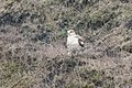 Ferruginous Hawk (light morph adult) between Mendoza B & Nunes Ranch Pt Reyes CA 2018-10-04 12-54-16 (45765091421).jpg