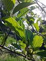 Feuilles d'un arbre non-identifié à Grez-Doiceau 005.jpg