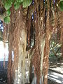 Ficus rubiginosa 1c.JPG