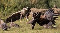Fighting white-tailed eagles (Haliaeetus albicilla) (2).jpg