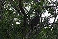 Fish eagle (7568719046).jpg