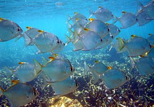 Monodactylus argenteus - Image: Fishes Mada