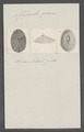 Fissurella graeca - - Print - Iconographia Zoologica - Special Collections University of Amsterdam - UBAINV0274 081 13 0003.tif